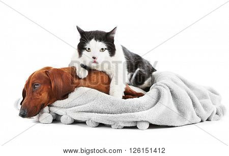 Cat and red dachshund on grey lounger, isolated on white.