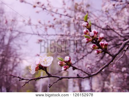 Beautiful apricot flowers (in pink tones shallow DOF selective focus)