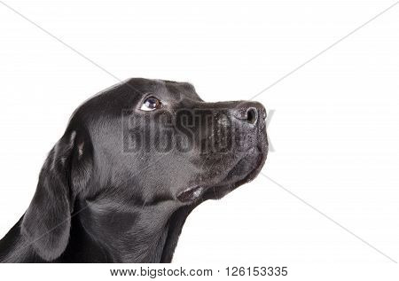 Portrait of a black Labrador Retriever looking up (isolated on white with copy space on the right for your text)