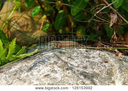 Lizard on rock. This lizard seems to be quiet confident and not disturbed at all by the photographer