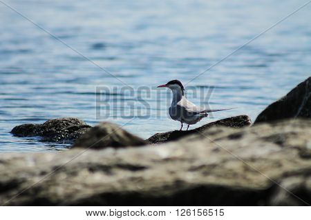 The Common Tern on a rock. This Common Tern is spending his summer day on a rock