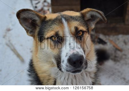 Portrait of a hunting dog - Siberian Laika. This dog was used for hunting indigenous peoples of Siberia.