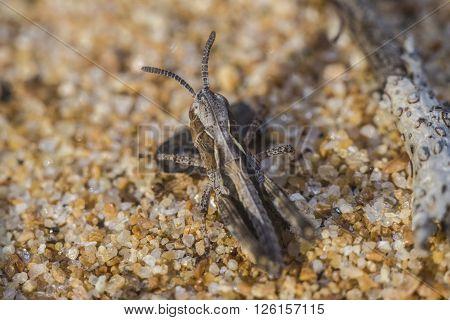 Little grasshopper the size of 2 millimeters
