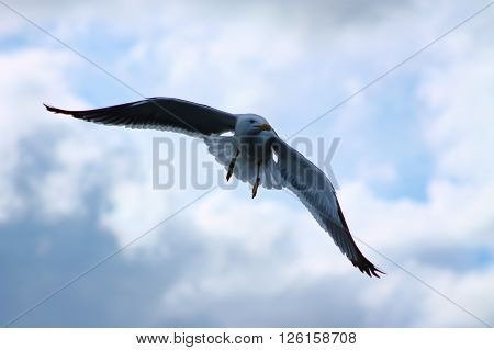 The Lesser Black-backed Gulls majestic flight. This Black-backed Gull flies very majestic style