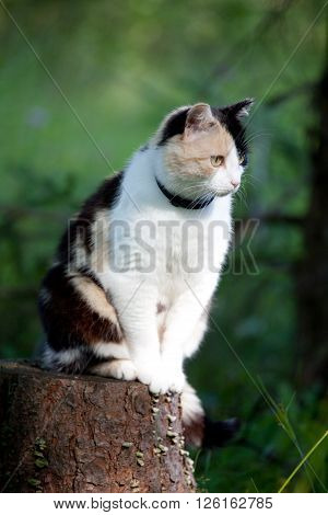 Beautiful calico cat looking to the right