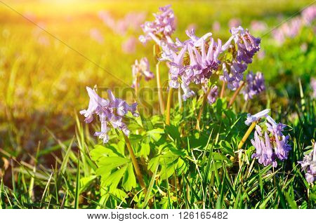 Closeup of blossoming Corydalis halleri or Corydalis solida - spring sunset landscape with small mauve flowers of Corydalis. Shallow depth of field. Selective focus at the central flowers.