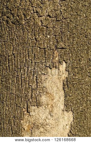 cortex of an old tree for natural background