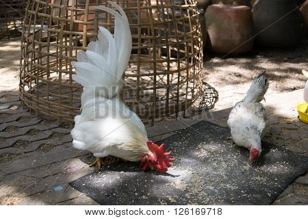 White bantam in the garden, agriculture, alarm, animal, asia,