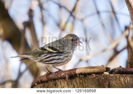 one bird siskin on a forest background