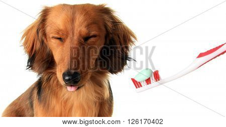 Studio isolated Dachshund puppy with a toothbrush. Dog dental cleaning concept.