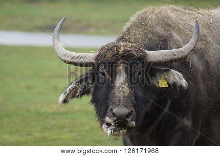 A large Asian Water Buffalo - Bubalus bubalis