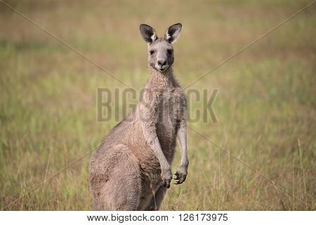 Eastern Grey Kangaroo with ears pricked and standing in the grazing fields of Eurobodalla National Park ** Note: Soft Focus at 100%, best at smaller sizes