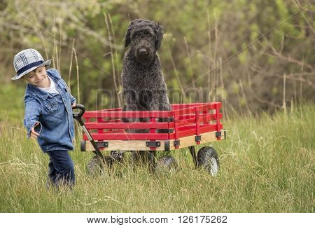 small boy pulling his large black poodle dog in his big red wooden wagon.