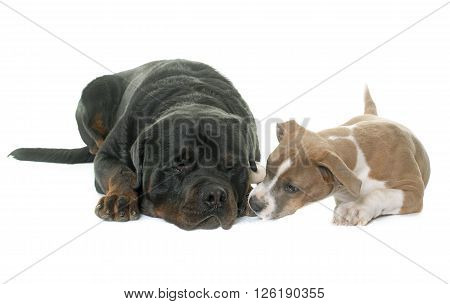 puppy american staffordshire terrierand rottweiler in front of white background