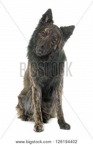 Dutch Long haired shepherd in front of white background