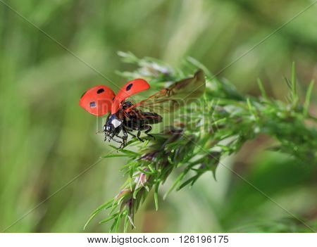 close up of ladybug flying off from blade