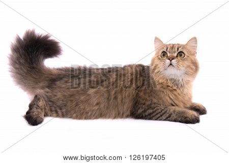 Close up of cute persian tabby cat on white background isolated.