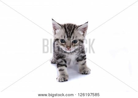 Close up of kitty american shorthair on white background isolated.