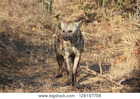 A spotted hyena soaks up the sun in the Kruger National Park, South Africa (whole body visible).