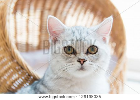 Close up of beautiful american shorthair cat sitting on the ground.