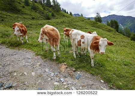 Cows grazing on an alpine field