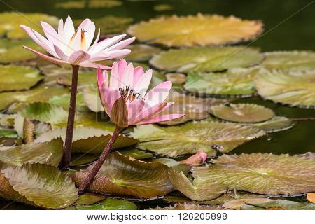 A water lily on the canarian island Tenerife.