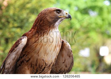 Portrait of an american red-tailed hawk against natural background