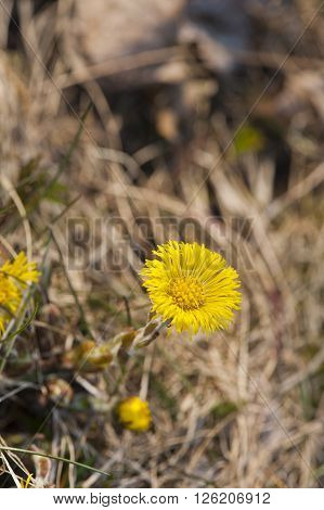 Single coltsfoot flower against a background of dried vegetation. Early spring