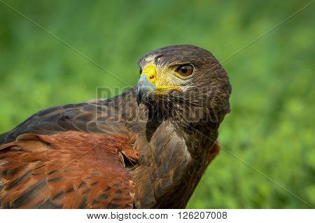 Portrait of a hawk harris natural outdoor