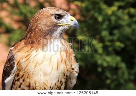 Side view portrait of an american red-tailed hawk