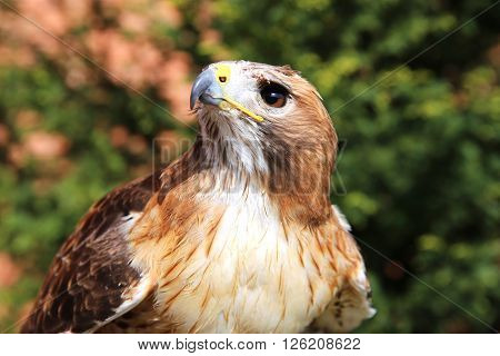 Close up detailed photograph of a red-tailed hawk on green natural background