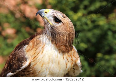 Portrait Of An American Red-tailed Hawk