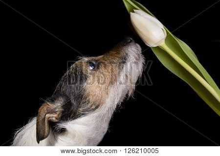 dog sniffing white tulip on black background