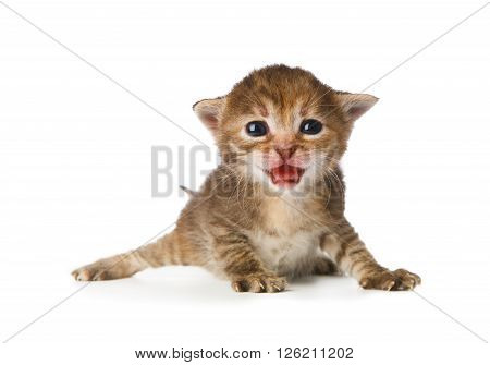 Cute grey striped kitten. Cute kitten 2 weeks old, creeping and growling isolated at white background. Adorable pet. Small heartwarming kitten. Little cat. Closeup isolated. High key