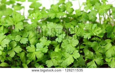 Fresh young growing leaves of parsley close-up.