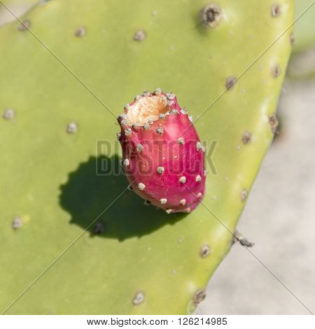 The fruit of the prickly pear in a fleshy green leaf in the garden of the rural house at Tenerife.
