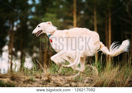 White Russian Borzoi gazehound fast running in summer forest. These dogs specialize in pursuing prey, keeping it in sight, and overpowering it by their great speed and agility