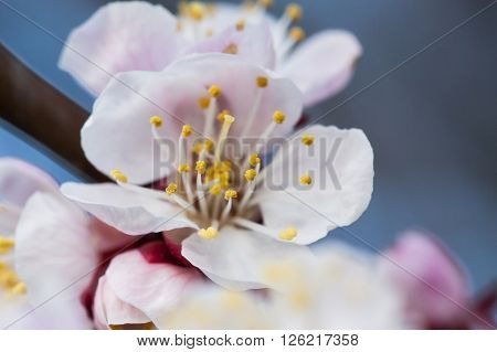 Spring blossoming of an apple-tree. Spring blossoming of cherry. The blossoming apple-tree. The blossoming cherry. The blossoming apricot.
