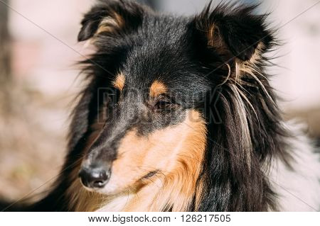 Close up of Young Shetland Sheepdog, Sheltie, Collie dog.