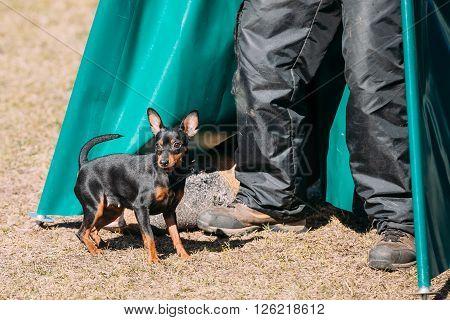Miniature Pinscher dog training. Zwergpinscher, Min Pin