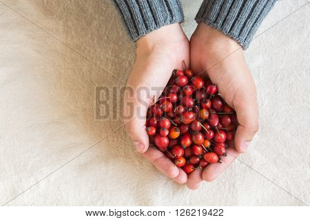 Hands the holding red berries of a dogrose