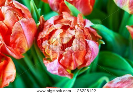 Beautiful red tulips. Boquet of flowers. Tulips with jagged edges