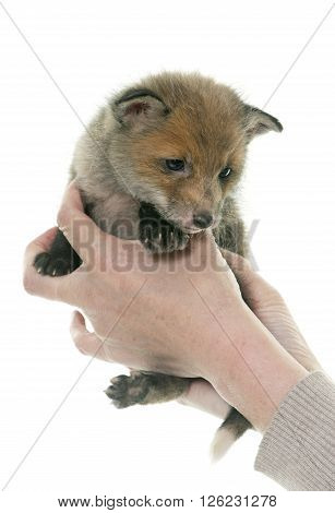 red fox cub in hands in front of white background