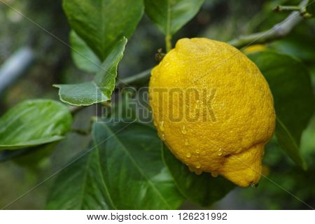 Ripe lemons hanging on a tree in Corfu Greece with the leaves in the garden