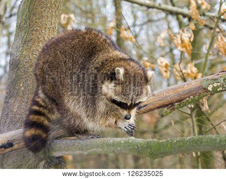 Raccoon On A Tree