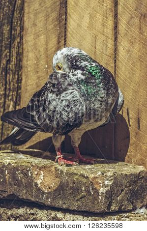 Grey Spotted Racing Pigeon