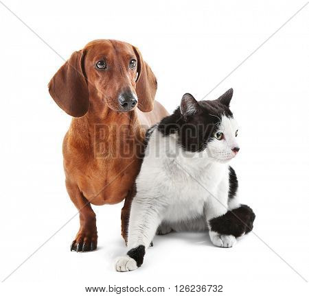 Dachshund and cat isolated on white.