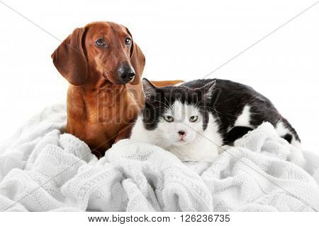 Cat and dachshund on a plaid, isolated on white.
