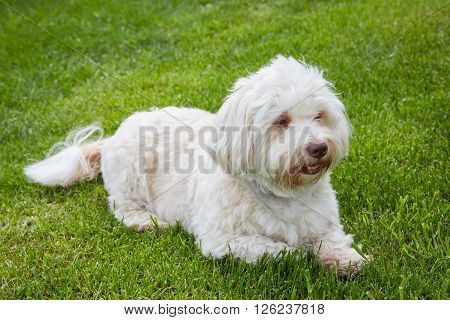 White Havanese Dog Lying In The Green Grass