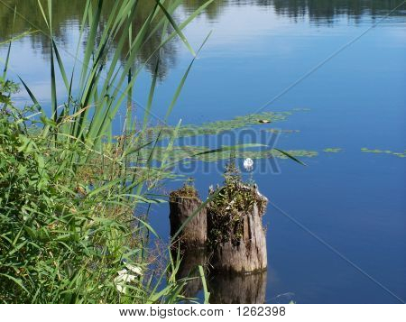 Stumps In Reflecting Pond